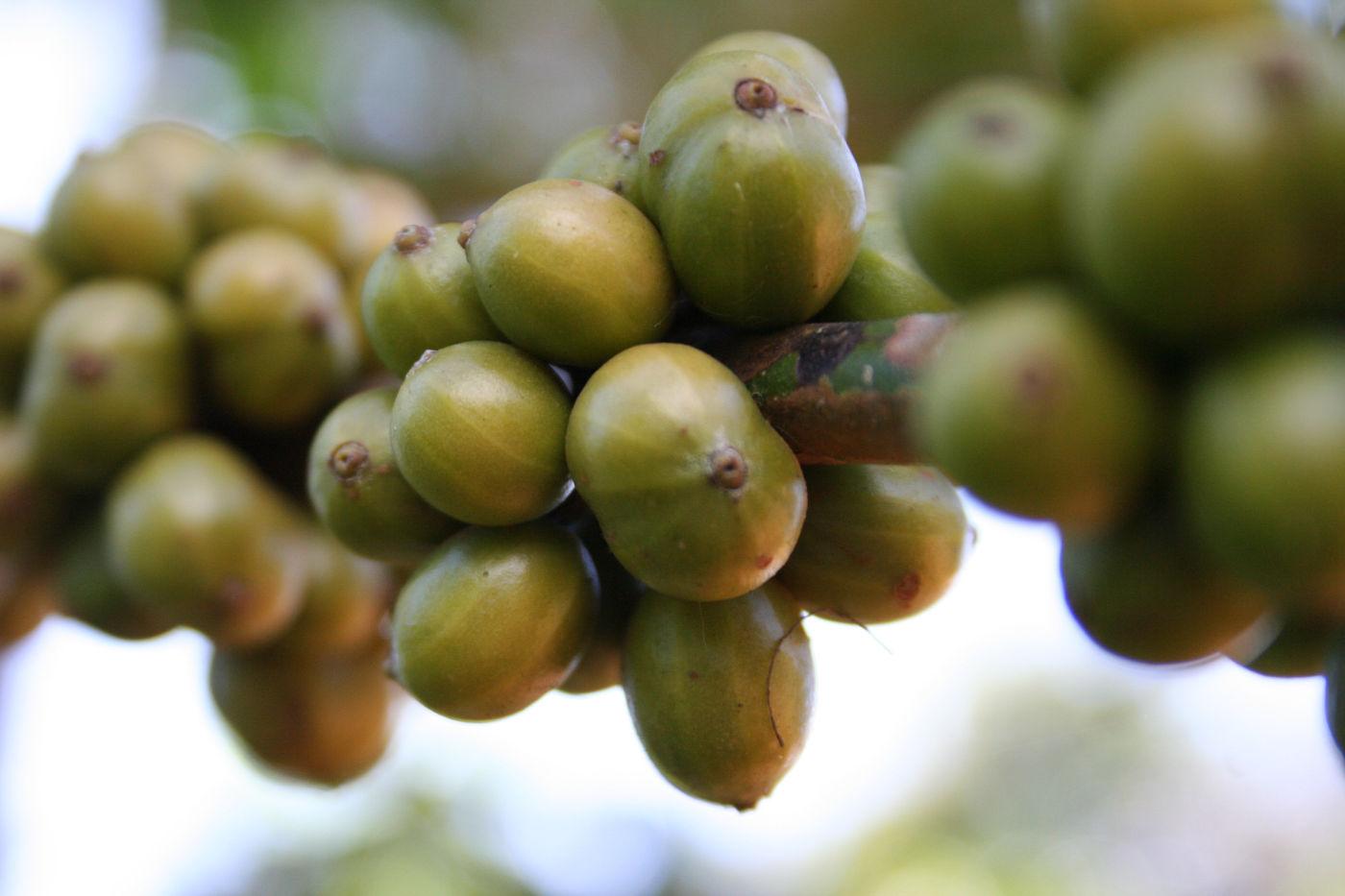 Kávová čerešňa